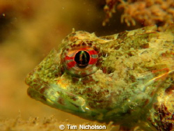 Sea Scorpion taken on a night dive in Port Erin Bay, Isle... by Tim Nicholson 